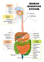 Diagram of the Human Digestive System