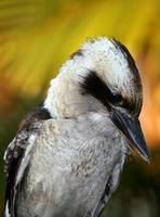 Wet kookaburra