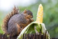 Squirrel Corn
