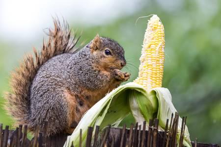 Squirrel Corn