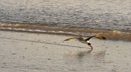 Black Skimmer Feeding, single