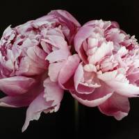 Peony Art Prints & Posters by julie scholz