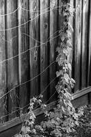Vine on the fence (B/W)