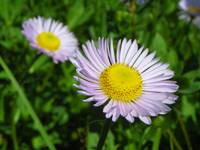 Botanical - Subalpine Daisy - Nature Floral