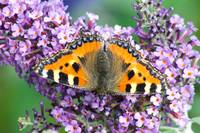 The Small Tortoiseshell Butterfly