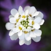 Candytuft Flower by Karen Adams