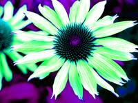 The Psychedelic Echinacea