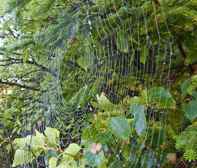 Orb-Weaver Spider Web with Dew, detail
