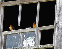 Barn Swallows in Old Barn Window