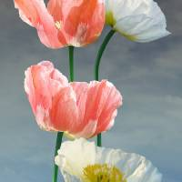 Four Poppy Blossoms by I.M. Spadecaller
