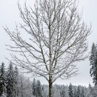 Lone Snow Covered Tree Art Prints & Posters by Kirt Tisdale