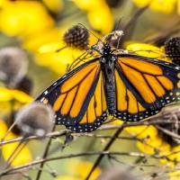 Monarch Art Prints & Posters by Laura Frazier