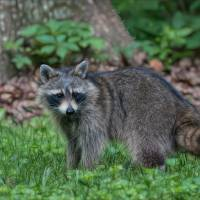 Racoon Art Prints & Posters by Glenda Borchelt