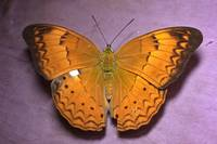 Tamil Youmen butterfly