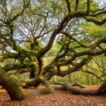 Charleston Angel Oak Tree South Carolina Landscape Prints & Posters