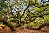 Charleston Angel Oak Tree South Carolina Landscape