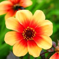 The Yellow and red Dahlia Flower Art Prints & Posters by Stephen Walton