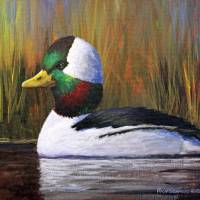 Bufflehead Drake Art Prints & Posters by Rich Summers Art