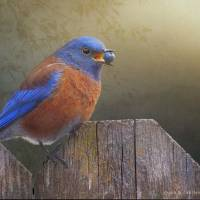 western bluebird with virginia creeper berry Art Prints & Posters by r christopher vest