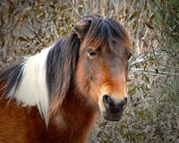 Assateague Pony Patricia Irene N2BHS-H