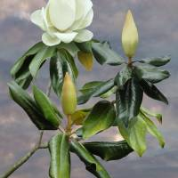 White Magnolia Tree Art Prints & Posters by I.M. Spadecaller