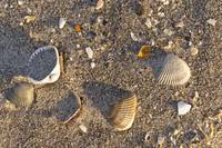 Dawn Seashells