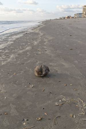 Beached Coconut