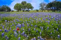Bluebonnet Heaven on a Blue Day