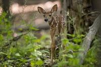 Curious - Fawn Deer by Daniel Teetor
