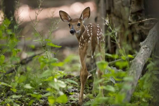 Curious - Fawn Deer