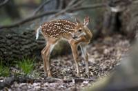 Cute Fawn in the Woods by Daniel Teetor