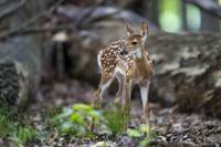 Fawn in the Forest by Daniel Teetor