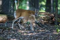 Baby Deer with Mother