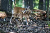 Twin Fawns with Mother by Daniel Teetor