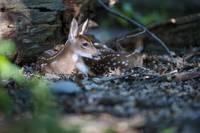 Bedded Fawn Deer by Daniel Teetor