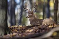 Buck Deer Bedded in the Woods by Daniel Teetor