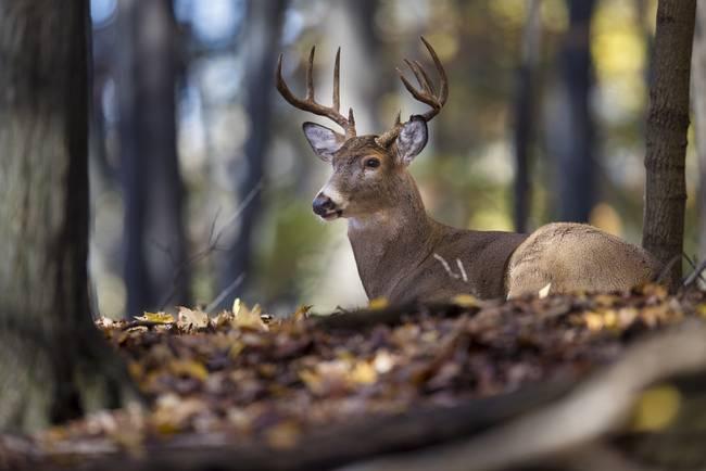 Buck Deer Bedded in the Woods