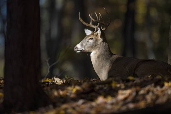 Buck Deer in a Sunbeam