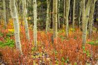 Aspen Forest Red Floor Rembrandt Style