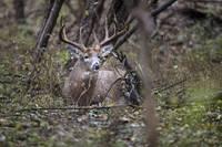 Big Buck Bedded in Woods by Daniel Teetor