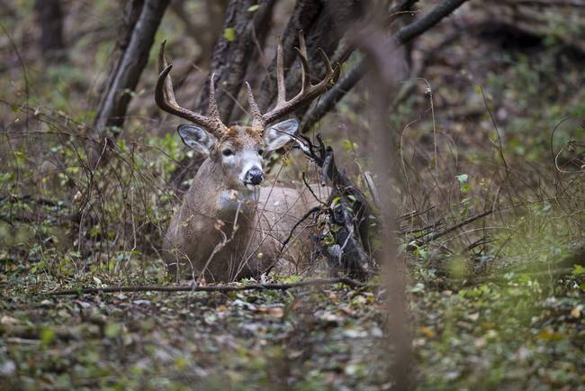 Big Buck Bedded in Woods