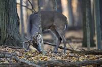 Buck Deer Looking for Food by Daniel Teetor