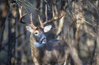 Big Buck Close-up-2 by Daniel Teetor