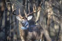 Big Buck Close-up-2 by Daniel Teetor