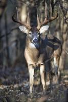 Dominant Buck by Daniel Teetor