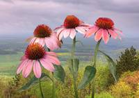 Wild Purple Coneflowers