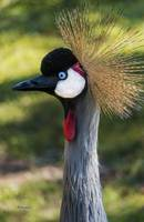 Grey Crowned Crane Gulf Shores Al 2039