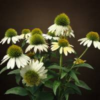 Wild White Coneflowers by I.M. Spadecaller