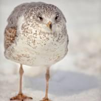 """""""Winters Gull"""" by karolsstuff"""