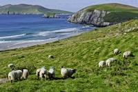 Sheep Grazing Near Dingle, Ireland